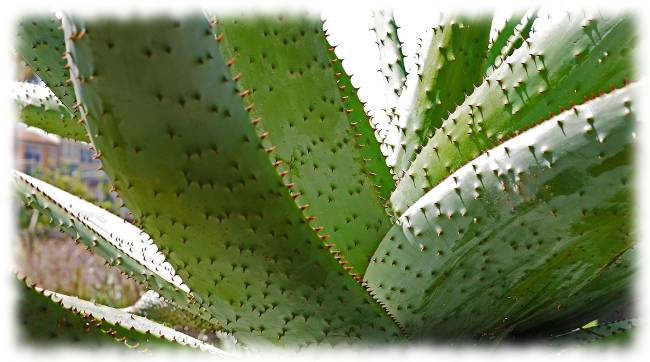 Bild Aloe Vera Pflanze als Hinweis auf die Aloe Drink Wirkung.